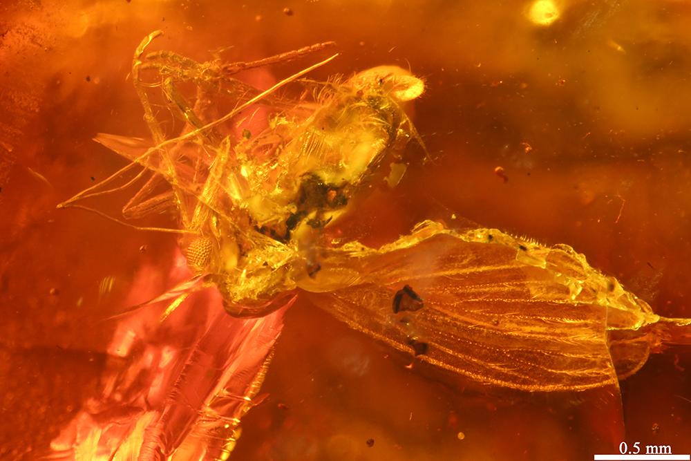 http://mczbase.mcz.harvard.edu/specimen_images/entomology/paleo/large/PALE-6898_Psychodidae.jpg