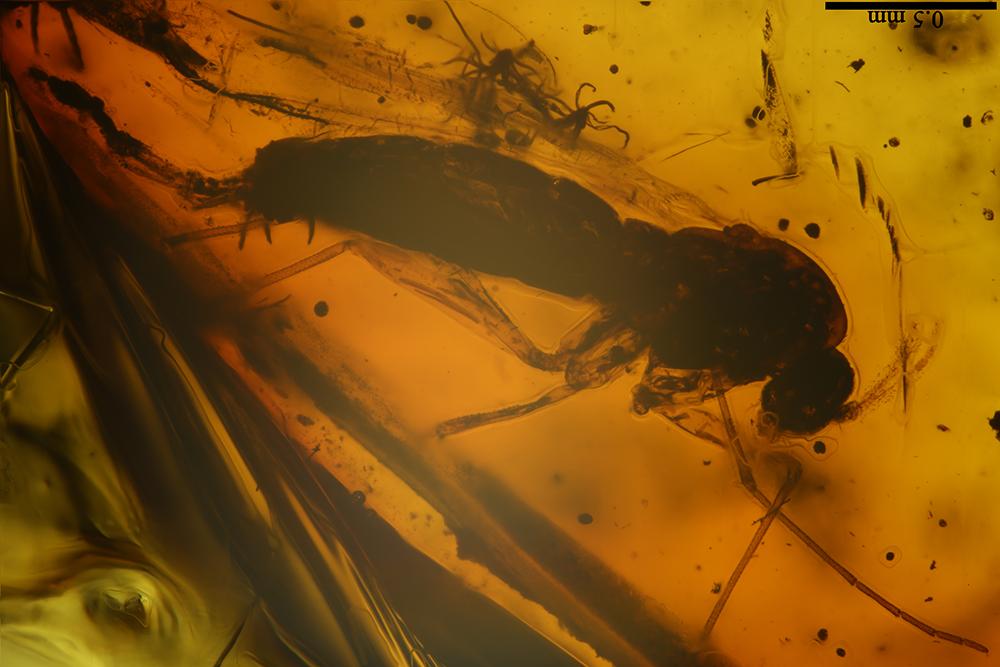 http://mczbase.mcz.harvard.edu/specimen_images/entomology/paleo/large/PALE-6994_Chironomidae.jpg