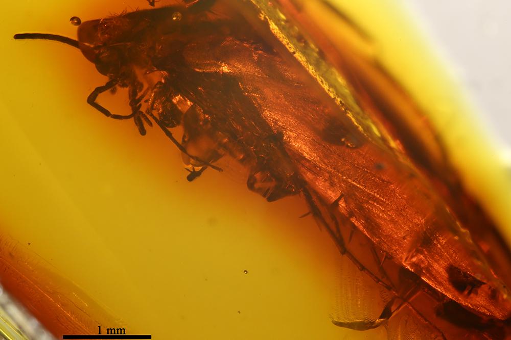 http://mczbase.mcz.harvard.edu/specimen_images/entomology/paleo/large/PALE-7046_Trichoptera.jpg