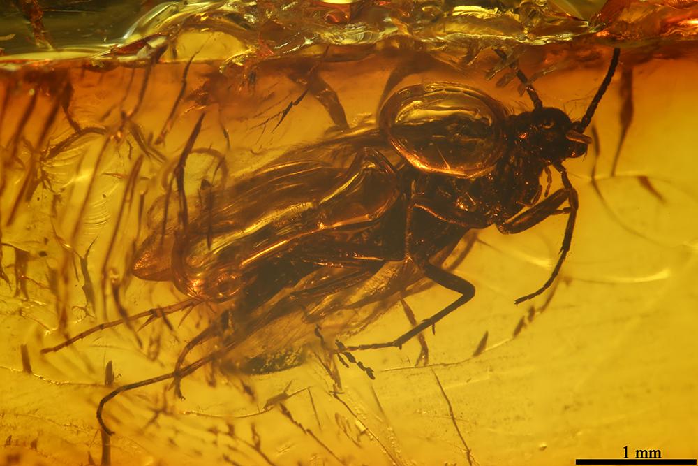 http://mczbase.mcz.harvard.edu/specimen_images/entomology/paleo/large/PALE-7060_Trichoptera.jpg