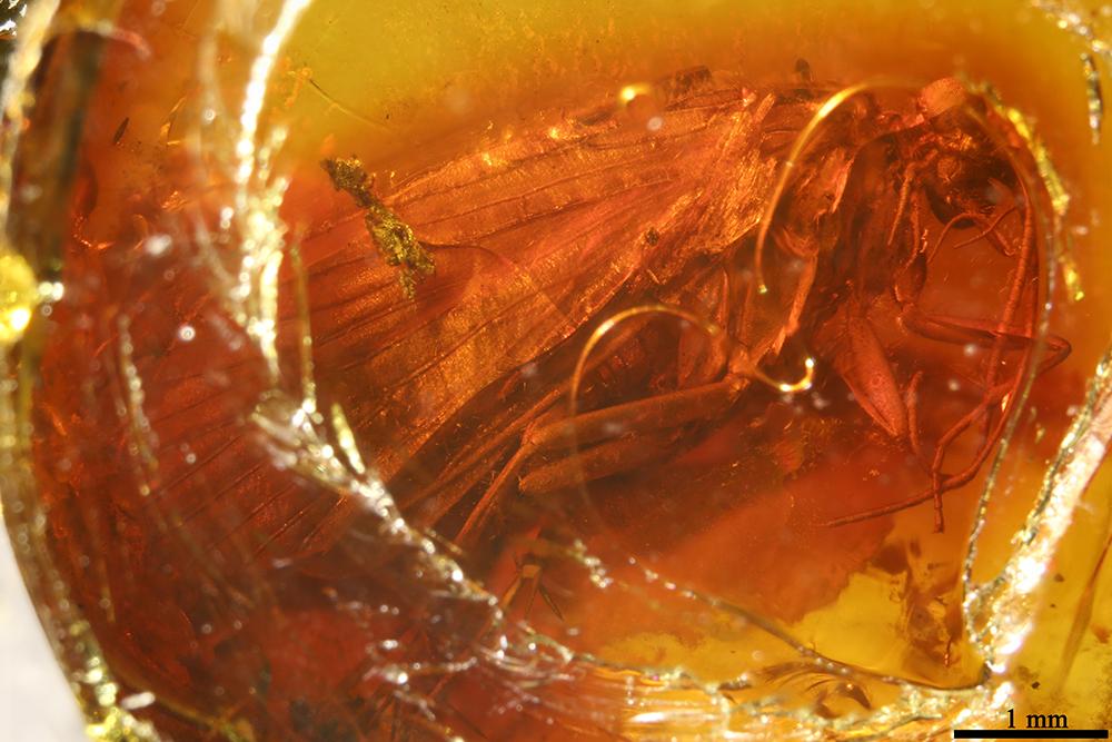 http://mczbase.mcz.harvard.edu/specimen_images/entomology/paleo/large/PALE-7062_Trichoptera.jpg