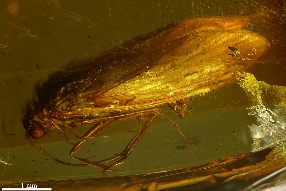 http://mczbase.mcz.harvard.edu/specimen_images/entomology/paleo/large/PALE-7074_Trichoptera.jpg