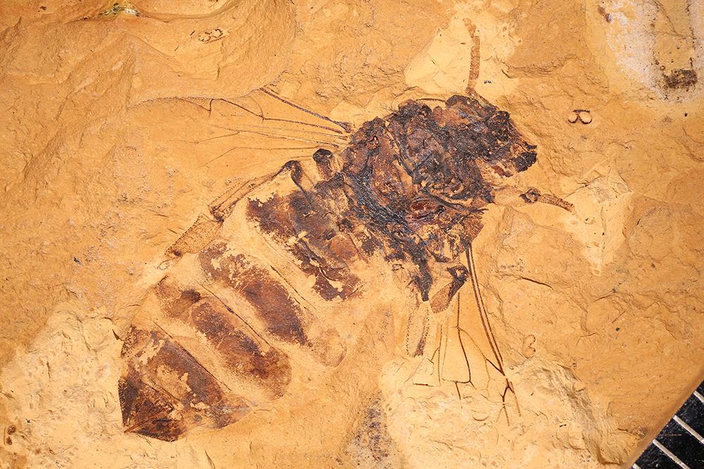 http://mczbase.mcz.harvard.edu/specimen_images/entomology/paleo/large/PALE-7513_Apis_henshawi_dormiens_holotype.jpg