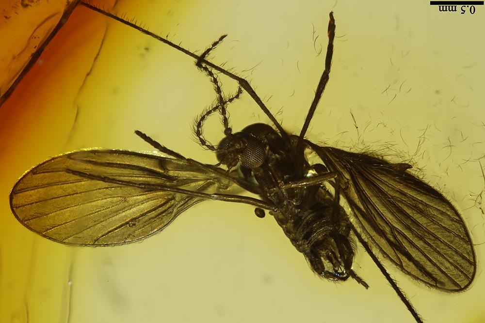 http://mczbase.mcz.harvard.edu/specimen_images/entomology/paleo/large/PALE-7520_Psychodidae.jpg