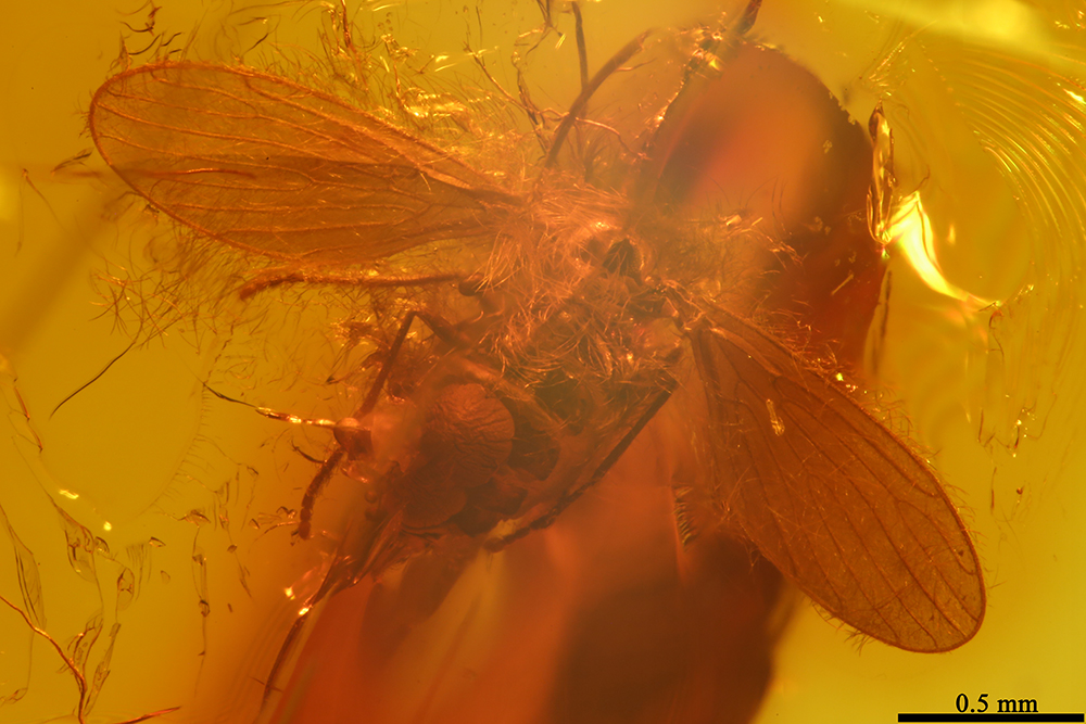 http://mczbase.mcz.harvard.edu/specimen_images/entomology/paleo/large/PALE-7524_Psychodidae.jpg