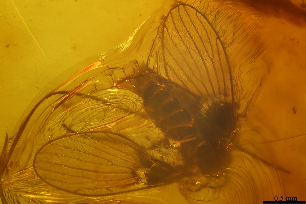 http://mczbase.mcz.harvard.edu/specimen_images/entomology/paleo/large/PALE-7529_Psychodidae.jpg