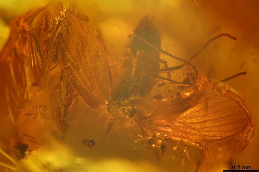 http://mczbase.mcz.harvard.edu/specimen_images/entomology/paleo/large/PALE-7535_Psychodidae.jpg