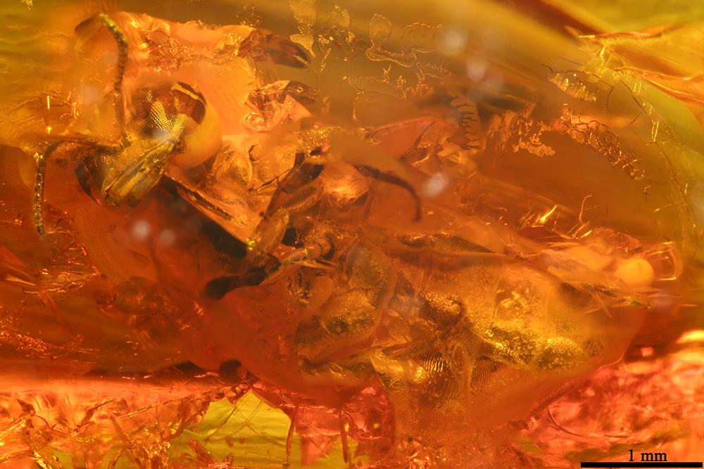 http://mczbase.mcz.harvard.edu/specimen_images/entomology/paleo/large/PALE-7706_Hymenoptera.jpg