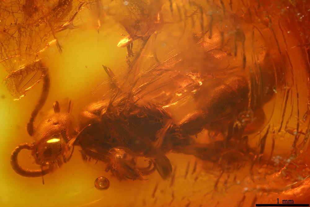 http://mczbase.mcz.harvard.edu/specimen_images/entomology/paleo/large/PALE-7718_Scoliidae_qm_2.jpg