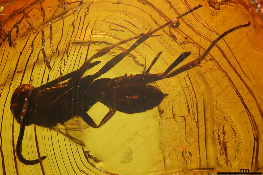 http://mczbase.mcz.harvard.edu/specimen_images/entomology/paleo/large/PALE-7720_Pompilidae_qm.jpg