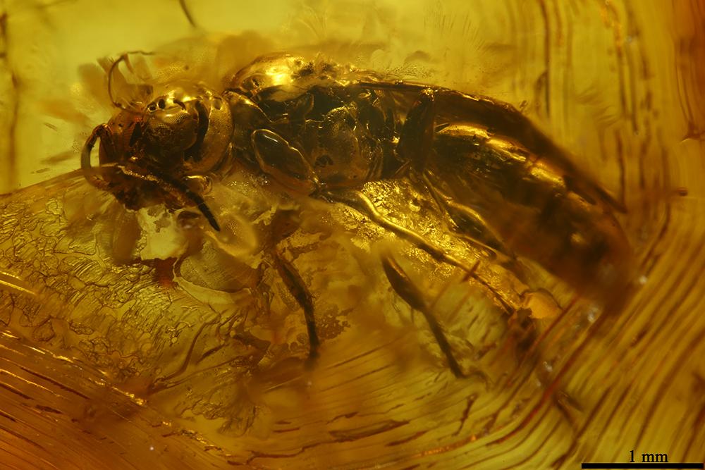 http://mczbase.mcz.harvard.edu/specimen_images/entomology/paleo/large/PALE-7723_Hymenoptera.jpg