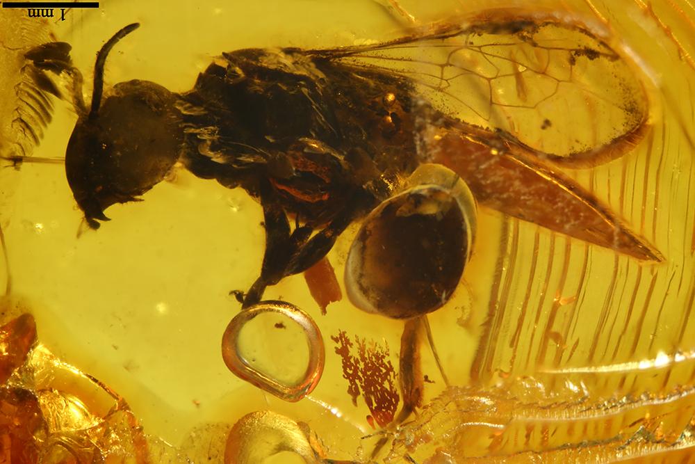 http://mczbase.mcz.harvard.edu/specimen_images/entomology/paleo/large/PALE-7727_Hymenoptera.jpg