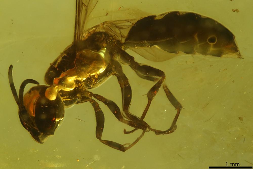 http://mczbase.mcz.harvard.edu/specimen_images/entomology/paleo/large/PALE-7731_Aculeata_1.jpg