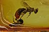 http://mczbase.mcz.harvard.edu/specimen_images/entomology/paleo/large/PALE-7733_Aculeata.jpg