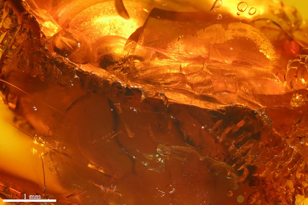 http://mczbase.mcz.harvard.edu/specimen_images/entomology/paleo/large/PALE-7735_Hymenoptera.jpg