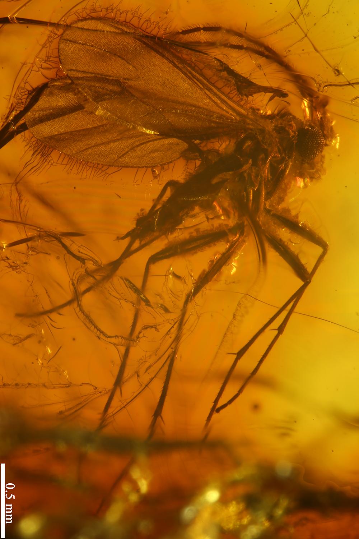 http://mczbase.mcz.harvard.edu/specimen_images/entomology/paleo/large/PALE-8062_Sciaridae.jpg