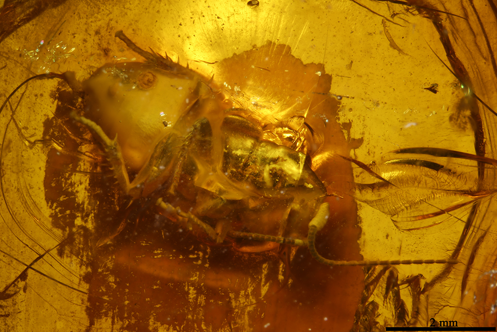 http://mczbase.mcz.harvard.edu/specimen_images/entomology/paleo/large/PALE-8395_Blattaria.jpg