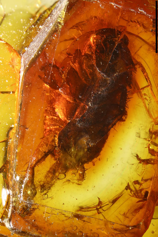 http://mczbase.mcz.harvard.edu/specimen_images/entomology/paleo/large/PALE-8426_Blattaria.jpg