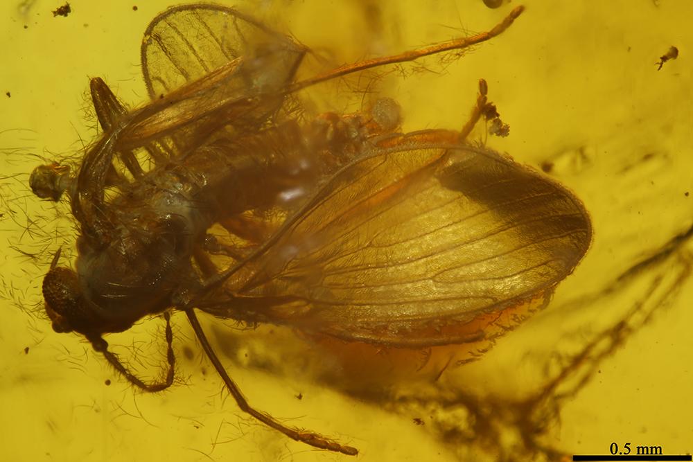 http://mczbase.mcz.harvard.edu/specimen_images/entomology/paleo/large/PALE-8470_Psychodidae.jpg