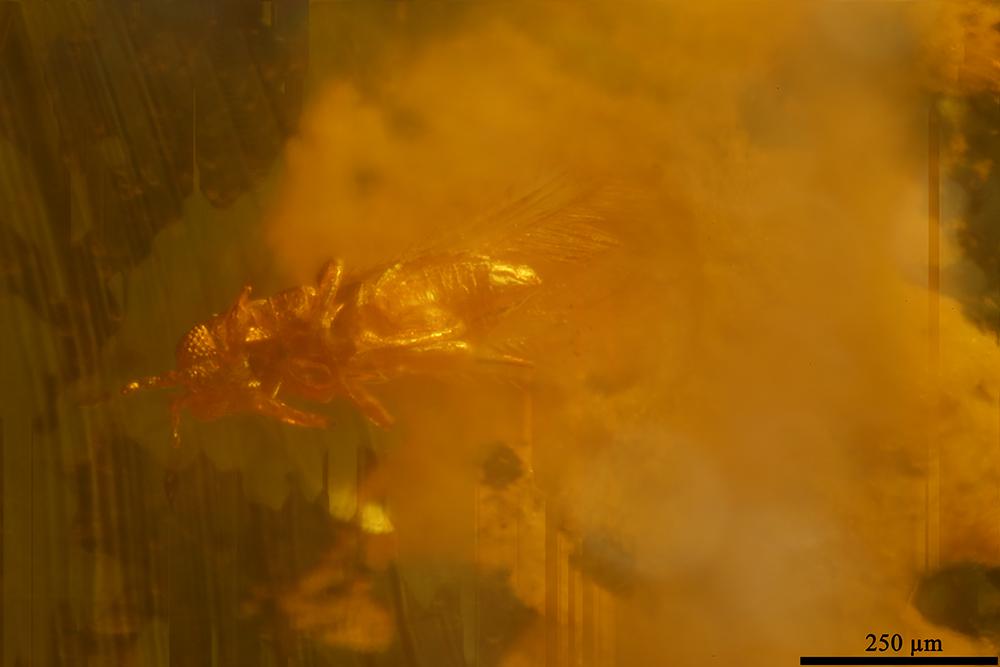 http://mczbase.mcz.harvard.edu/specimen_images/entomology/paleo/large/PALE-8542_Thysanoptera.jpg