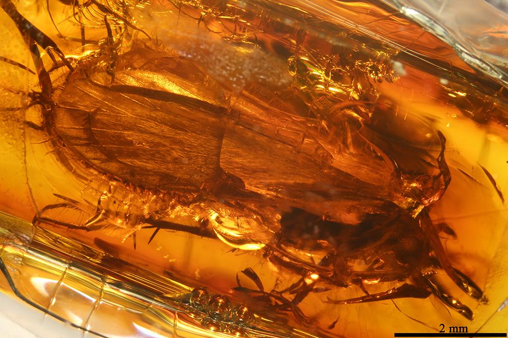 http://mczbase.mcz.harvard.edu/specimen_images/entomology/paleo/large/PALE-8581_Trichoptera_1.jpg