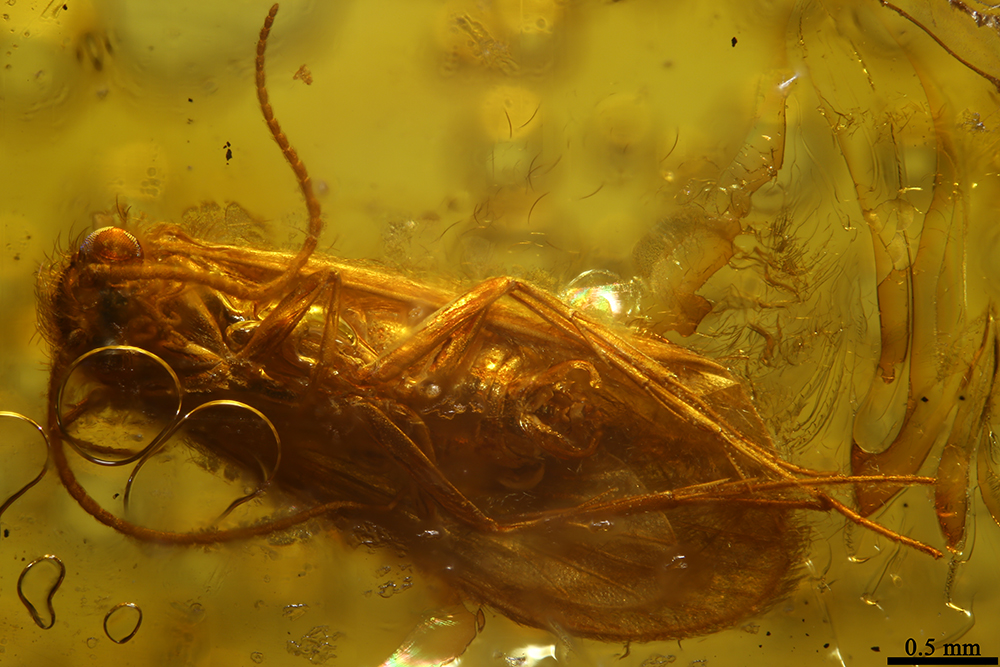 http://mczbase.mcz.harvard.edu/specimen_images/entomology/paleo/large/PALE-8581_Trichoptera_2.jpg