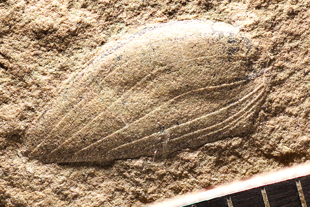 http://mczbase.mcz.harvard.edu/specimen_images/entomology/paleo/large/PALE-8619_Gerablattina_balteata_type.jpg