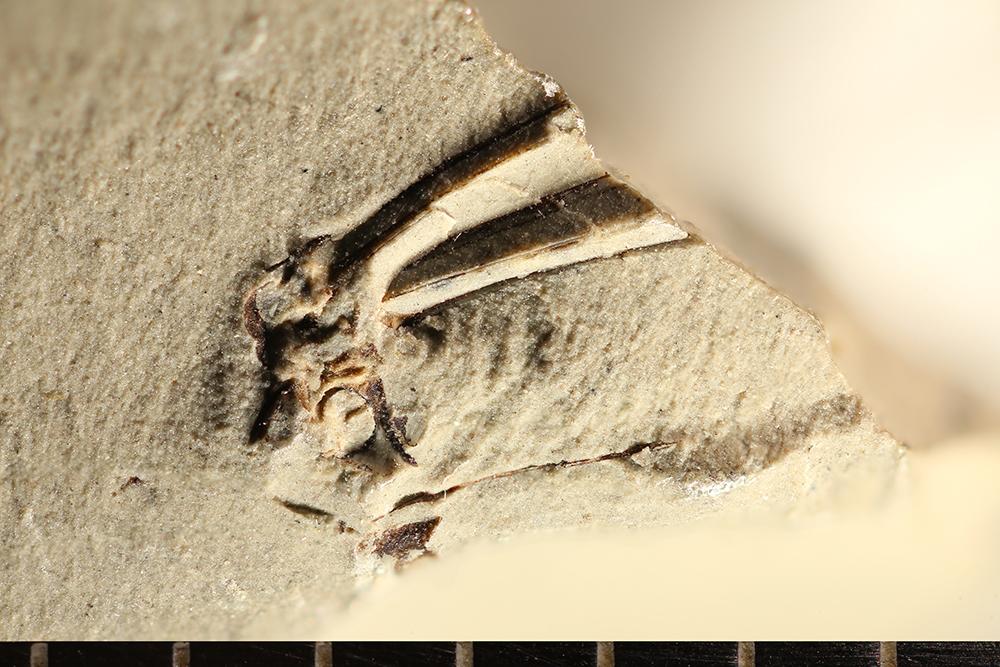 http://mczbase.mcz.harvard.edu/specimen_images/entomology/paleo/large/PALE-8779_Pterygota.jpg