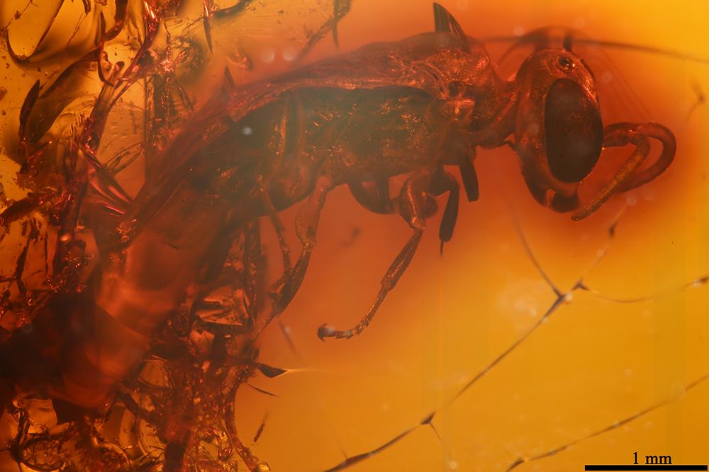http://mczbase.mcz.harvard.edu/specimen_images/entomology/paleo/large/PALE-9019_Hymenoptera_1.jpg