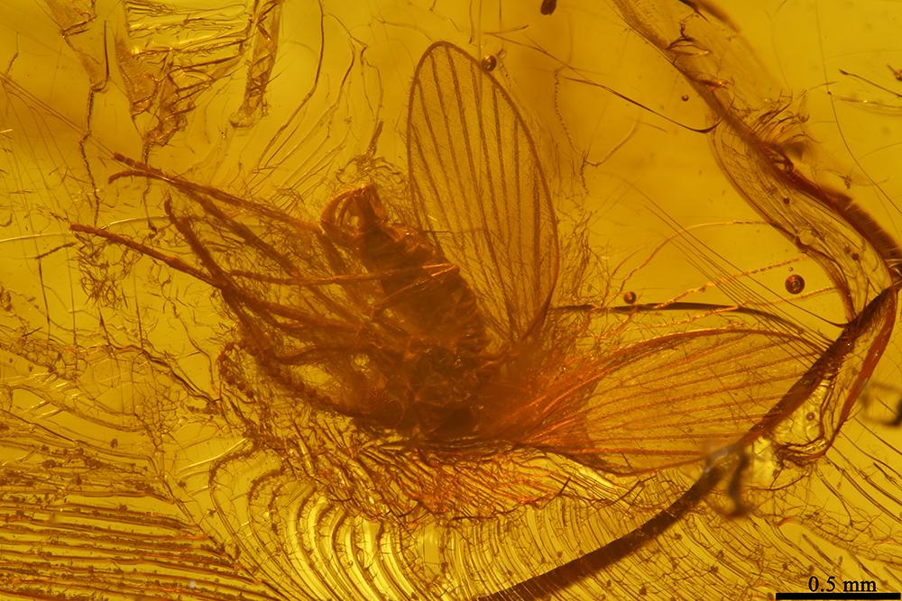 http://mczbase.mcz.harvard.edu/specimen_images/entomology/paleo/large/PALE-9028_Psychodidae.jpg