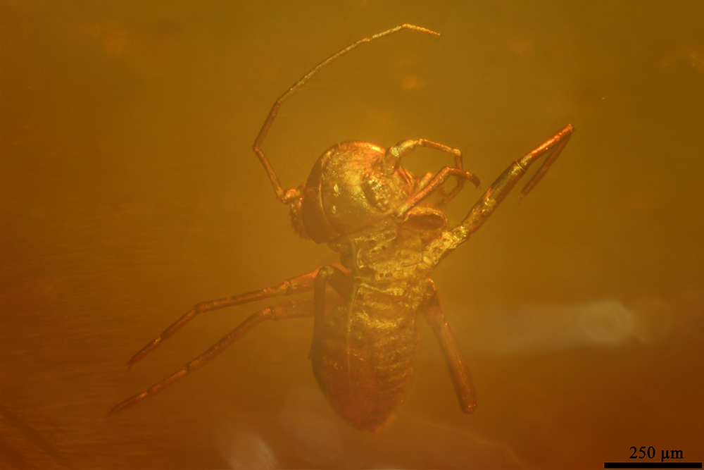 http://mczbase.mcz.harvard.edu/specimen_images/entomology/paleo/large/PALE-9033_Psocoptera.jpg
