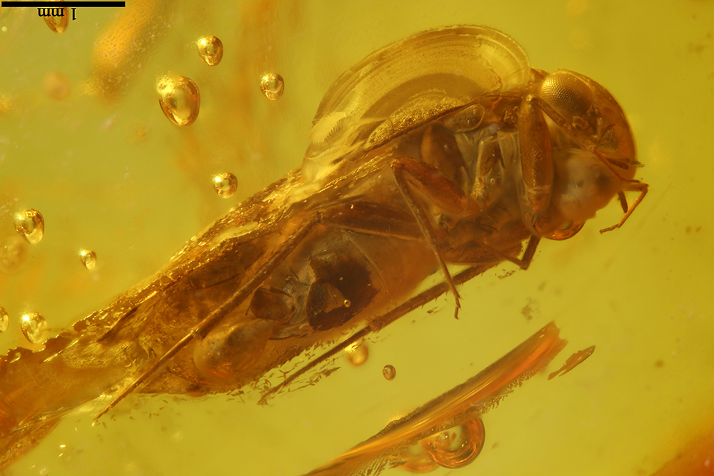 http://mczbase.mcz.harvard.edu/specimen_images/entomology/paleo/large/PALE-9034_Lepidopsocidae.jpg