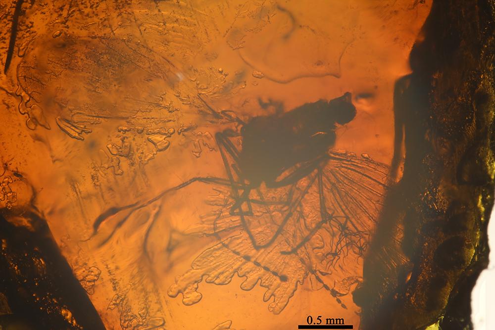 http://mczbase.mcz.harvard.edu/specimen_images/entomology/paleo/large/PALE-9070_Psychodidae.jpg