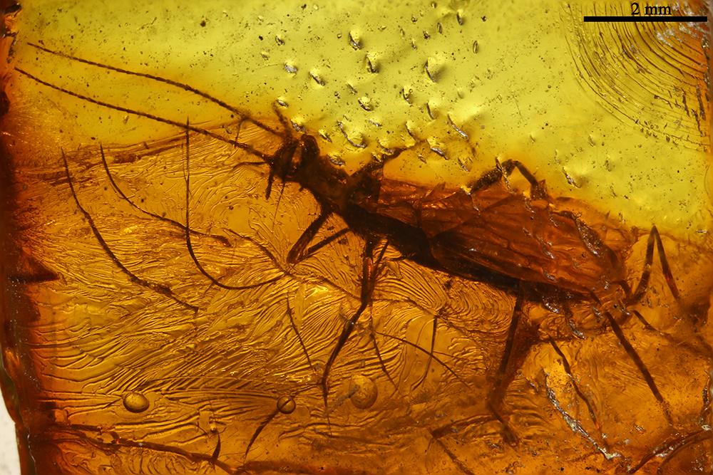 http://mczbase.mcz.harvard.edu/specimen_images/entomology/paleo/large/PALE-9160_Plecoptera_2.jpg