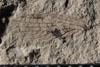 http://mczbase.mcz.harvard.edu/specimen_images/entomology/paleo/large/PALE-10078_Lemmatophora_typa_dry.jpg