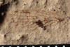 http://mczbase.mcz.harvard.edu/specimen_images/entomology/paleo/large/PALE-10078_Lemmatophora_typa_etho.jpg