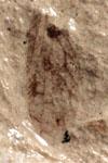 http://mczbase.mcz.harvard.edu/specimen_images/entomology/paleo/large/PALE-10113_Lemmatophora_typa_etho.jpg