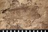 http://mczbase.mcz.harvard.edu/specimen_images/entomology/paleo/large/PALE-10141_Lemmatophora_typa_etho.jpg