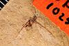 http://mczbase.mcz.harvard.edu/specimen_images/entomology/paleo/large/PALE-1025_Archilachnus_pennatus_type.jpg