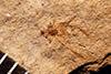 http://mczbase.mcz.harvard.edu/specimen_images/entomology/paleo/large/PALE-1030_Sbenaphis_quesneli.jpg