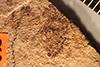 http://mczbase.mcz.harvard.edu/specimen_images/entomology/paleo/large/PALE-1062_Palaphrodes_obliqua_holotype_1.jpg