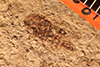 http://mczbase.mcz.harvard.edu/specimen_images/entomology/paleo/large/PALE-1081_Lithecphora_murata_holotype_1.jpg