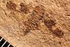 http://mczbase.mcz.harvard.edu/specimen_images/entomology/paleo/large/PALE-1083_Prinecphora_balteata_type.jpg