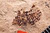 http://mczbase.mcz.harvard.edu/specimen_images/entomology/paleo/large/PALE-1097_Palaphrodes_irregularis_holotype_1.jpg