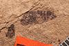 http://mczbase.mcz.harvard.edu/specimen_images/entomology/paleo/large/PALE-1109_Aphrophora_sp_1.jpg