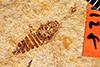 http://mczbase.mcz.harvard.edu/specimen_images/entomology/paleo/large/PALE-1128_Agallia_lewisii_type.jpg