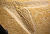 http://mczbase.mcz.harvard.edu/specimen_images/entomology/paleo/large/PALE-11493_Protolindenia_wittei.jpg