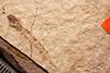 http://mczbase.mcz.harvard.edu/specimen_images/entomology/paleo/large/PALE-1154_Tipula_magnifica_type.jpg
