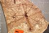 http://mczbase.mcz.harvard.edu/specimen_images/entomology/paleo/large/PALE-1160b_Tipula_rigens_type.jpg