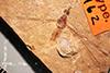 http://mczbase.mcz.harvard.edu/specimen_images/entomology/paleo/large/PALE-1162_Tipula_rigens_type.jpg